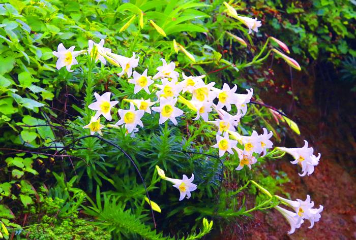 2尋覓台灣野百合的春天