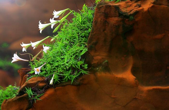 4尋覓台灣野百合的春天