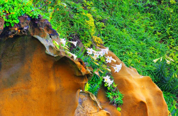 5尋覓台灣野百合的春天