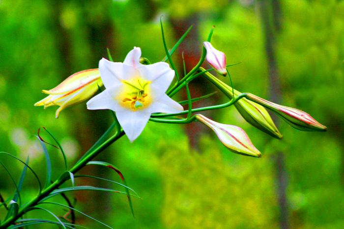 6尋覓台灣野百合的春天