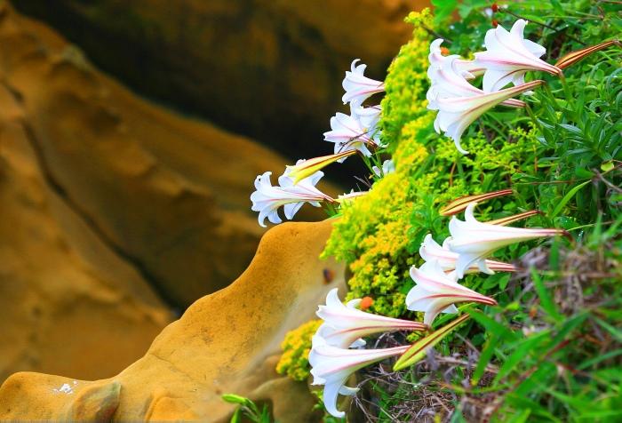 8尋覓台灣野百合的春天