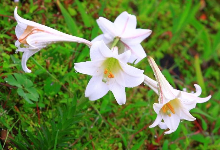 7尋覓台灣野百合的春天