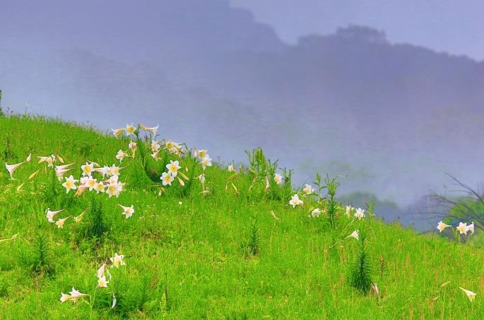 13尋覓台灣野百合的春天