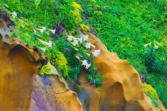 19尋覓台灣野百合的春天