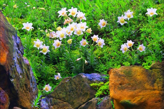17尋覓台灣野百合的春天