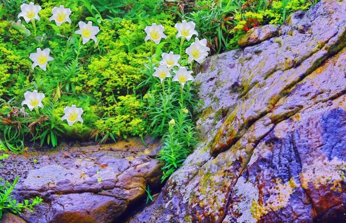 16尋覓台灣野百合的春天