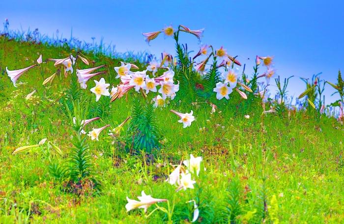 20尋覓台灣野百合的春天