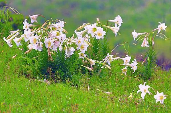 1台灣野百合的春天