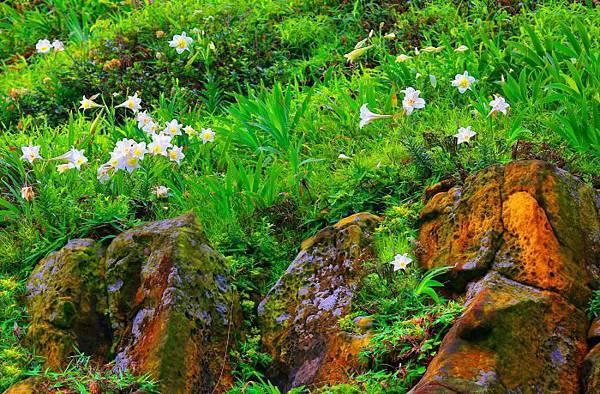 4台灣野百合的春天
