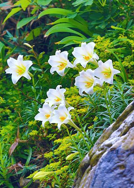 5台灣野百合的春天