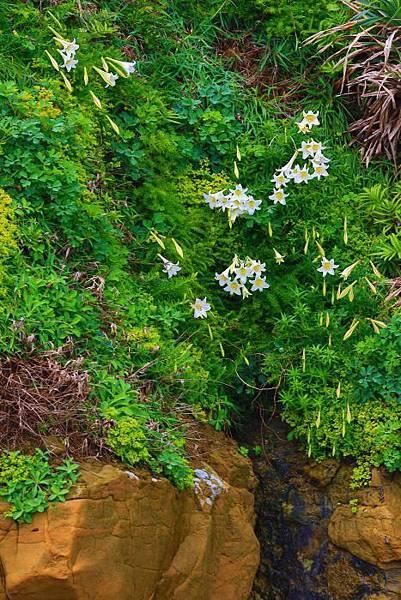 3台灣野百合的春天