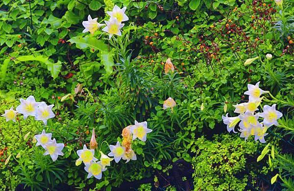 7台灣野百合的春天