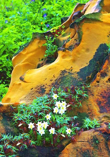 8台灣野百合的春天