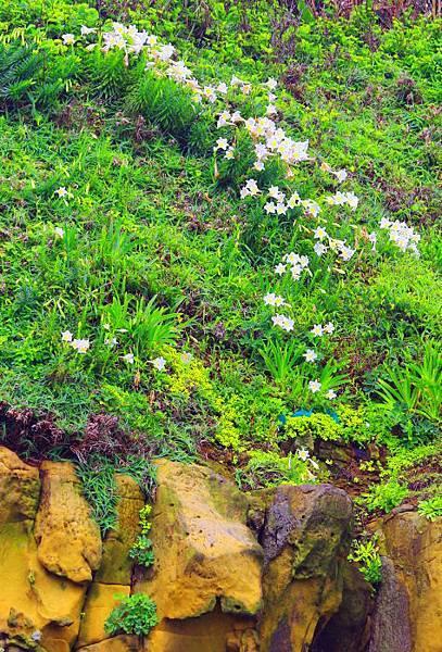 9台灣野百合的春天