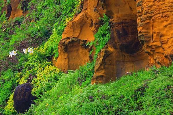 10台灣野百合的春天