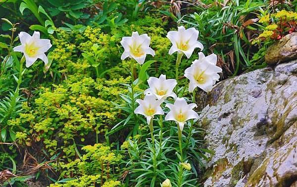 6台灣野百合的春天