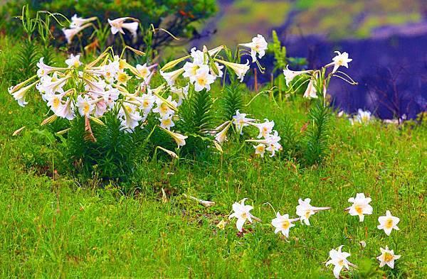 12台灣野百合的春天