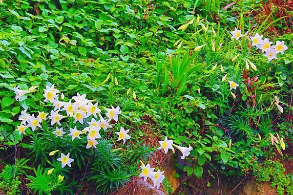 11台灣野百合的春天