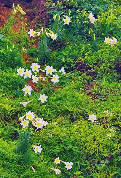 18台灣野百合的春天