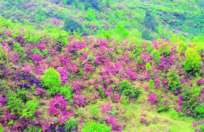 10合歡山紅毛杜鵑之美