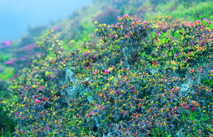 7合歡山紅毛杜鵑之美