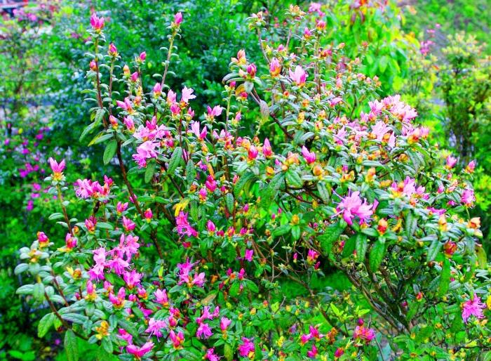 8合歡山紅毛杜鵑之美