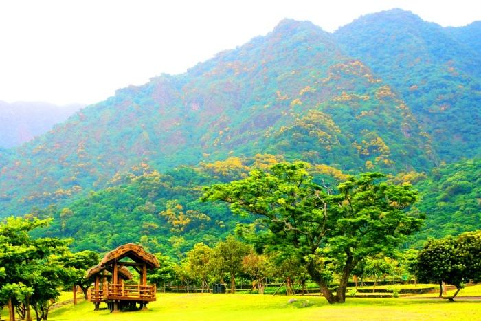 4台東金色相思樹花滿山林