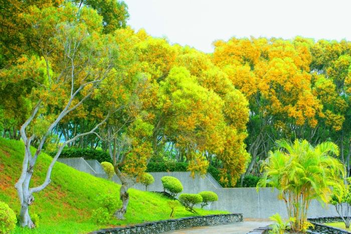 5台東金色相思樹花滿山林