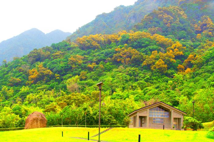 2台東金色相思樹花滿山林