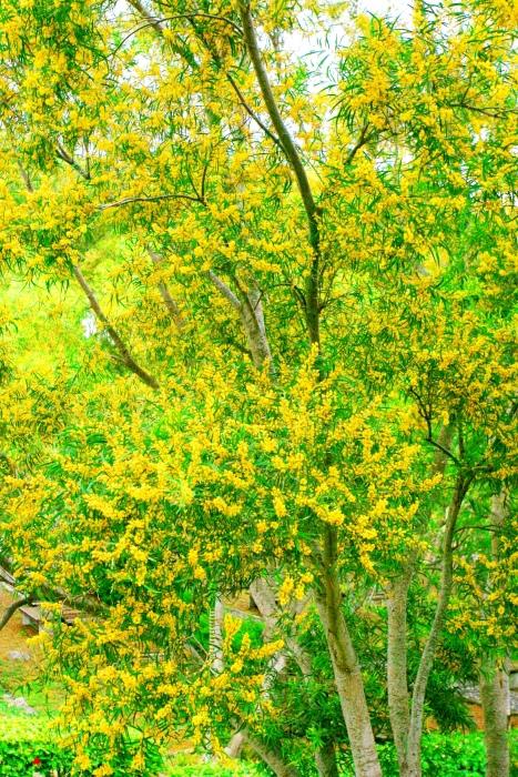 9台東金色相思樹花滿山林