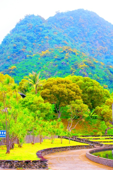 6東金色相思樹花滿山林