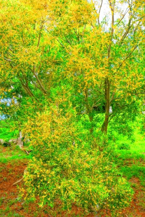 7台東金色相思樹花滿山林