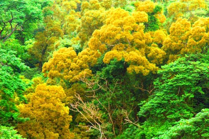 12台東金色相思樹花滿山林