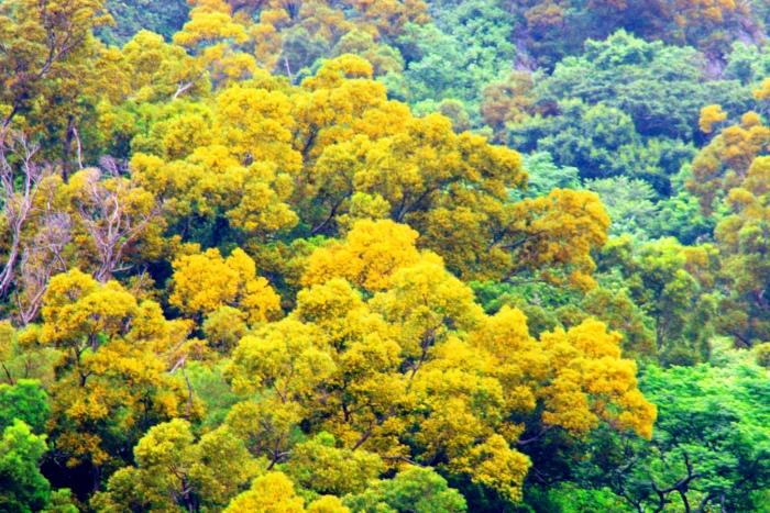 11台東金色相思樹花滿山林