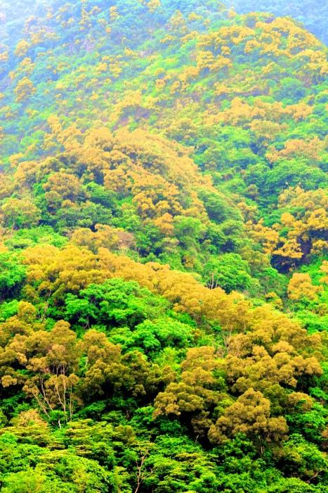 15台東金色相思樹花滿山林