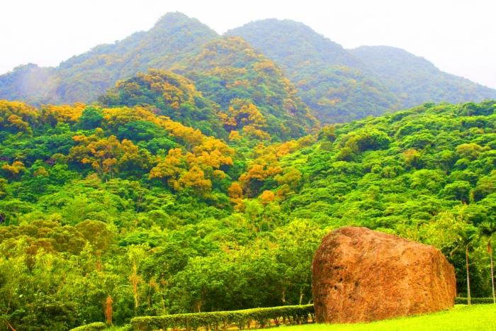 14台東金色相思樹花滿山林