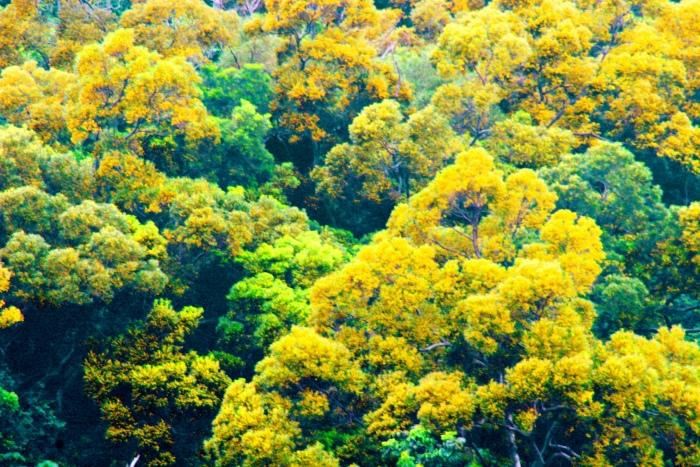 13台東金色相思樹花滿山林
