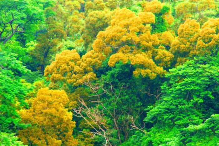 18台東金色相思樹花滿山林