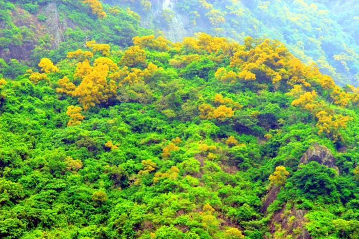 17台東金色相思樹花滿山林
