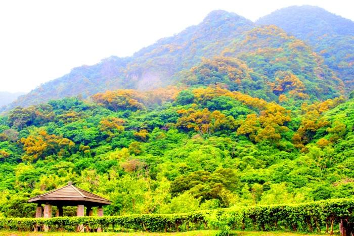 19台東金色相思樹花滿山林