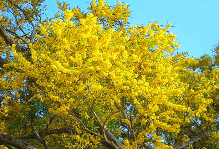24台東金色相思樹花滿山林