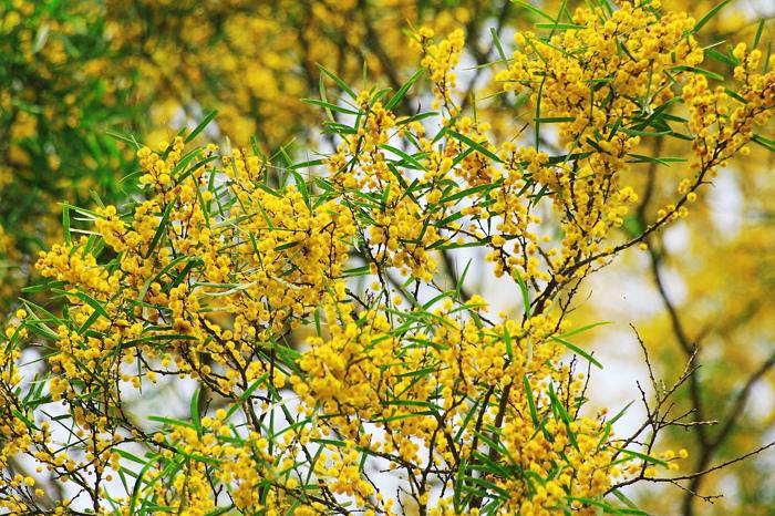 23台東金色相思樹花滿山林
