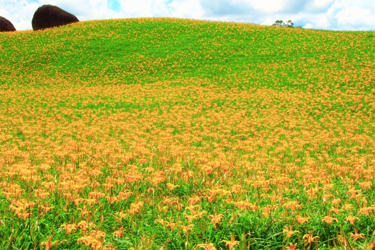 12赤柯山金針花季