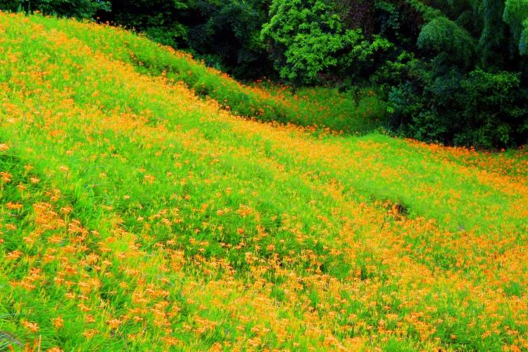 赤柯山金針花季  (8)