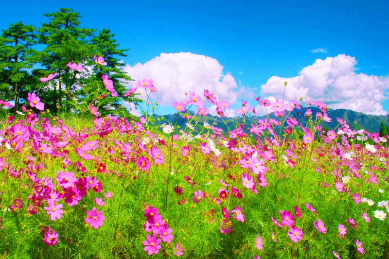 3福壽山波斯菊之美