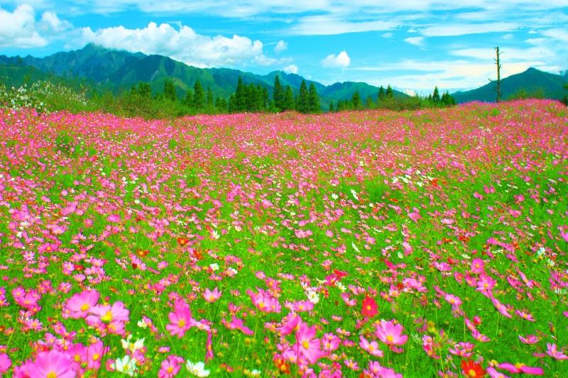 1福壽山波斯菊之美