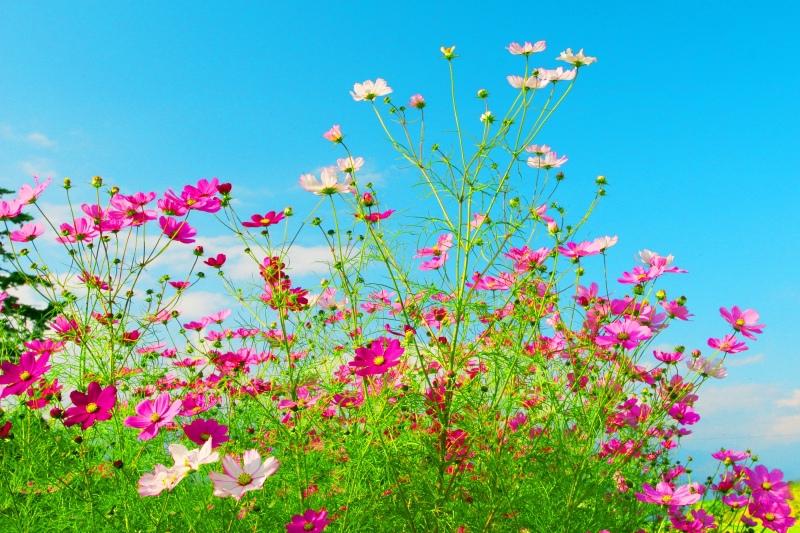 6福壽山波斯菊之美