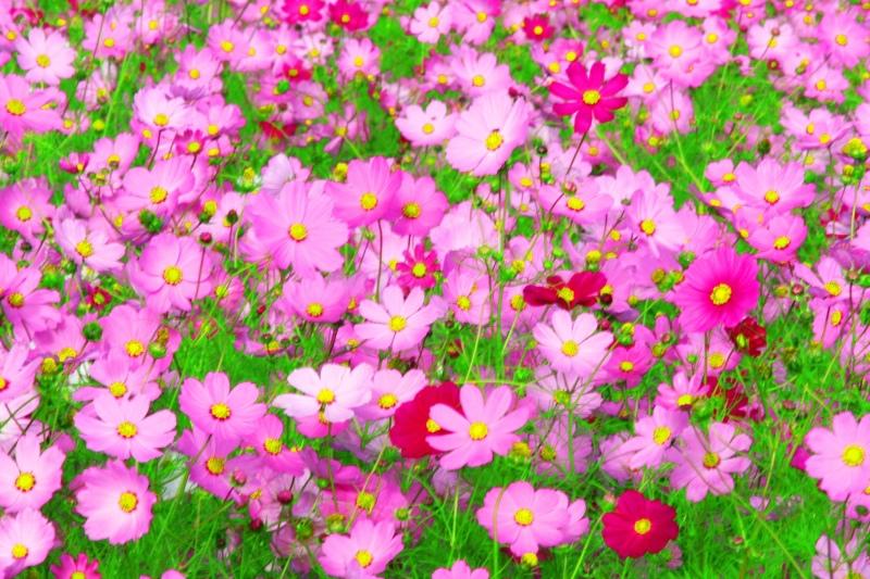8福壽山波斯菊之美