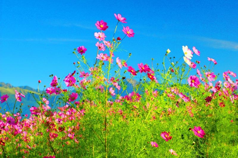 10福壽山波斯菊之美