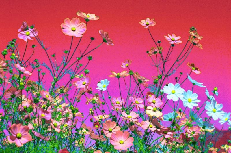 11福壽山波斯菊之美